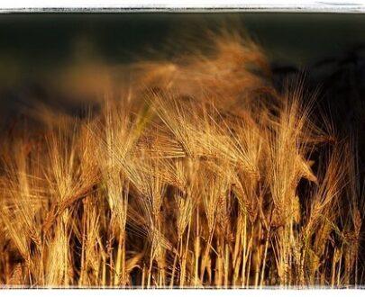 Malted Barley and Grain